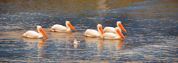 Great American White Pelicans With Seagull Photography Art   Ruth Burke Art