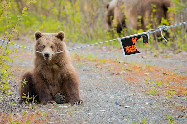 Bears That Can't Read Art   Alaska Wild Bear Photography