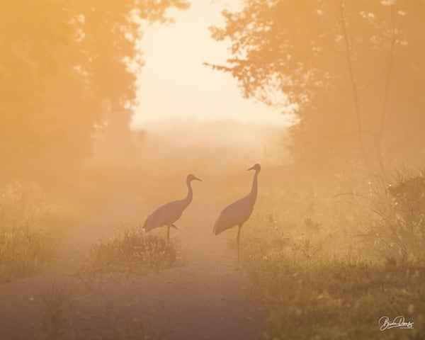 Whooping Cranes in the Fog