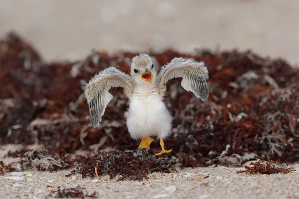 Least Tern Chick Running On Seaweed F0 A5794 Pompano Beach Florida Usa Photography Art | Clemens Vanderwerf Photography