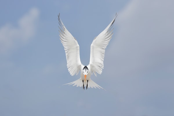 Royal Tern With Wings Up Landing F0 A4524 Huguenot Park Jacksonville Fl Usa Photography Art | Clemens Vanderwerf Photography
