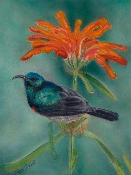 Colorful bird Greater Double - Collard Sunbird on Leonotis Plant By Nancy Conant