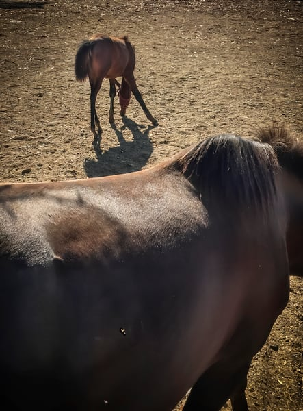 A gangly colt feeds in the morning light at Pine Trails Horse Ranch, Yolo County, California.