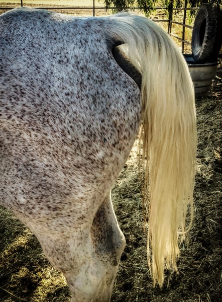 A roan horse tail gathers sunlight.