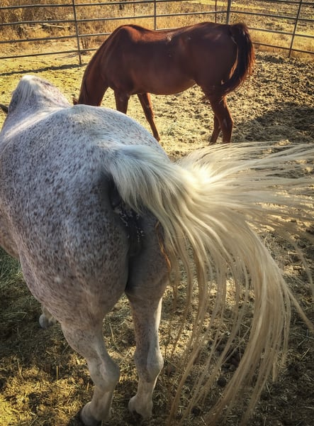 A roan horse flicks its tail in the morning light.