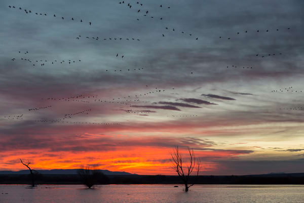 Sunrise With Orange Sky And Geese Flying S6 A8514 Bosque Del Apache Nwr San Antonio Nm Usa Photography Art   Clemens Vanderwerf Photography