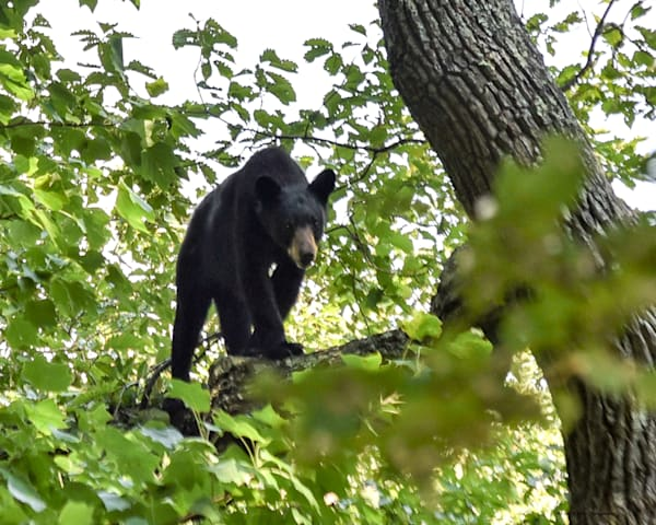 Black Bear Photography Art | N2 the Woods Photography - Nature and Wildlife Artwork