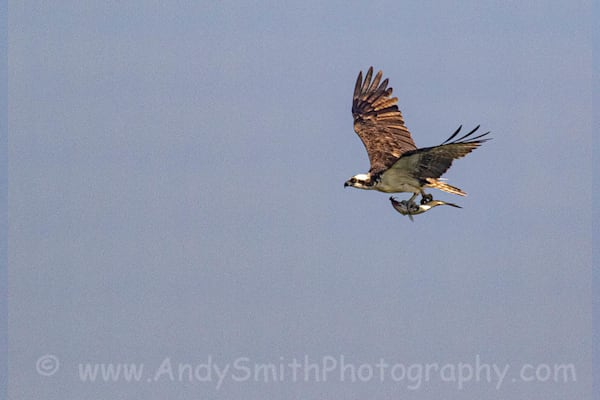 Osprey Carrying Fish