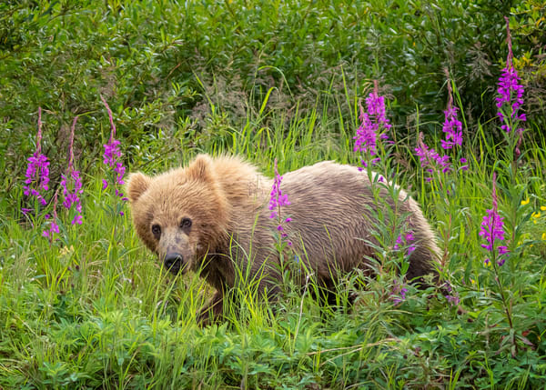Bear Cub In The Fireweed Photography Art | Carol Brooks Parker Fine Art Photography