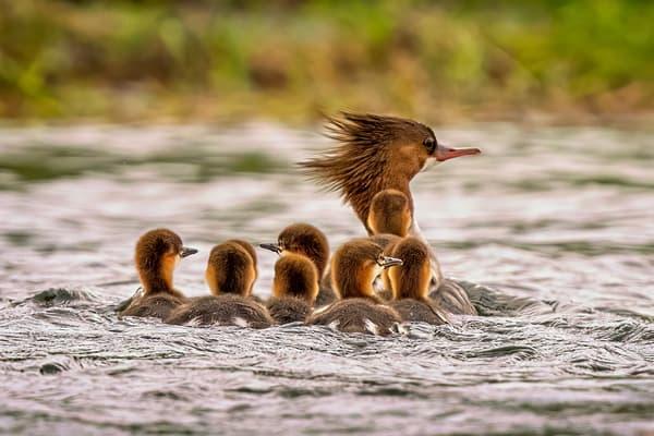 Merganser And Chicks Photography Art | Carol Brooks Parker Fine Art Photography
