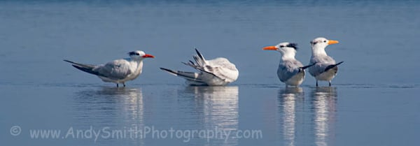 Four Royal Terns