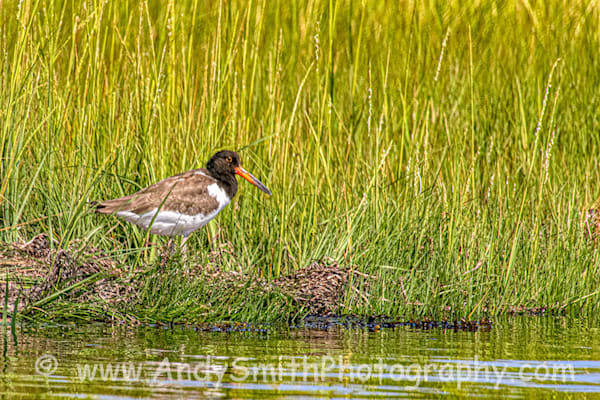 Oystercatcher in the Grass