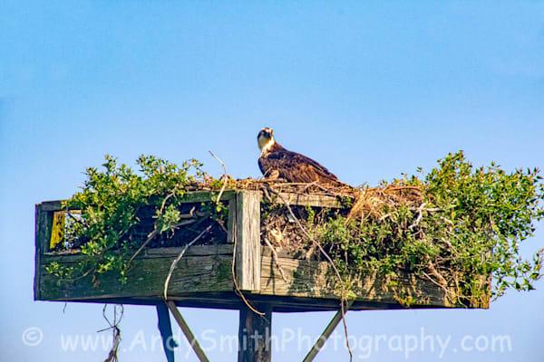 Osprey on Green Nest