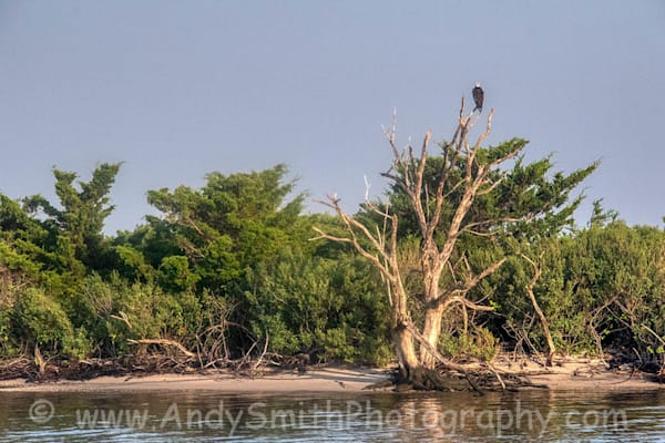Osprety Resting in a Tree