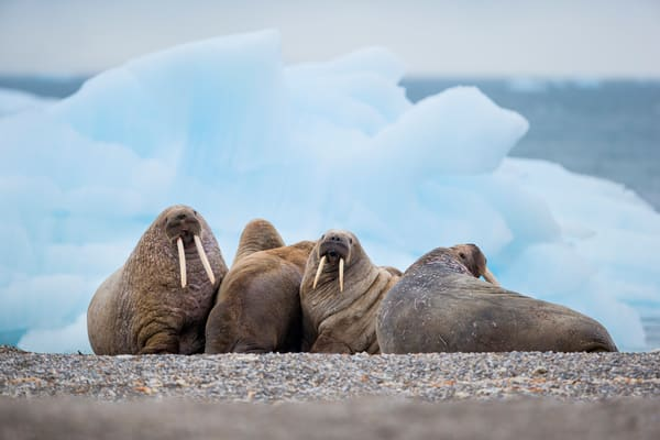 Walrus Group Together With Ice Berg Background E7 T3711 Torellneset Svalbard Arctic Photography Art   Clemens Vanderwerf Photography