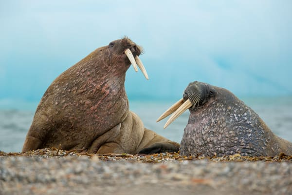 Walrusses Looking At Each Other At The Beach E7 T3894 Torellneset Svalbard Arctic Photography Art   Clemens Vanderwerf Photography