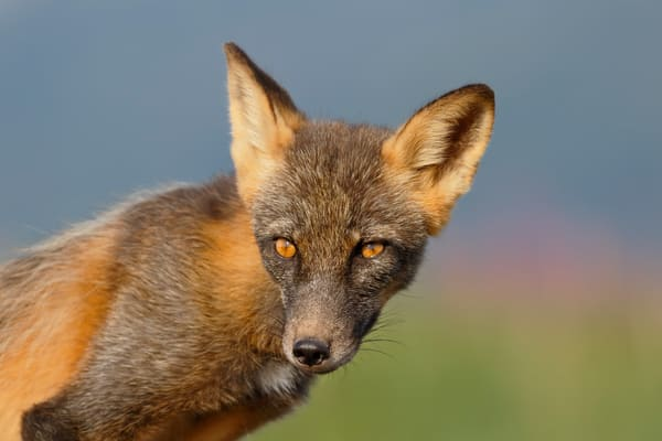 Red Fox With Fireweed Background 44 A2293 Hallo Bay Katmai National Park Preserve Ak Usa Photography Art   Clemens Vanderwerf Photography