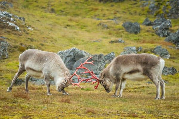 Reindeer Challenging Each Other B8 R6228 Alkhornet Svalbard Arctic Photography Art   Clemens Vanderwerf Photography