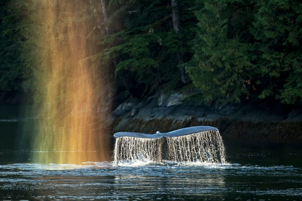 Humpback Whale With Rainbow Spray A3 I1854 Gribbell Island British Columbia Canada Photography Art   Clemens Vanderwerf Photography