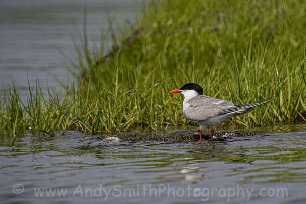 Common Tern Art | Andy Smith Photography