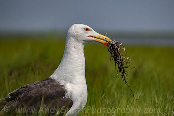 Gullls, Terns and Skimmers