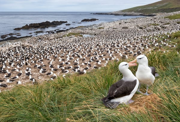 Black Browed Albatrosses On Th Edge Of The Colony E7 T4768 Steeple Jason Falkland Islands Photography Art | Clemens Vanderwerf Photography