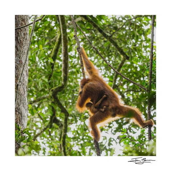 An infant orangutan holding onto its mother as they soar through the rainforest.