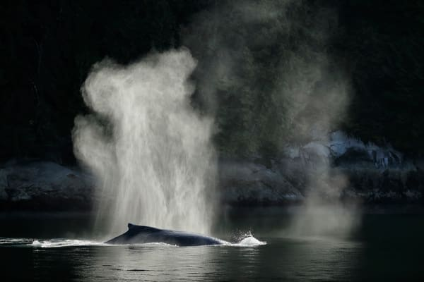 Humpback Whale With Spray Backlit A3 I1325 Gribbell Island British Columbia Canada Photography Art   Clemens Vanderwerf Photography