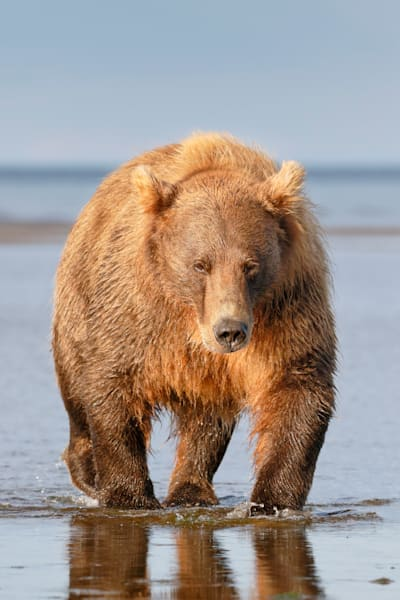 Coastal Brown Bear On Tidal Flat Vertical 44 A1702 Hallo Bay Katmai National Park Preserve Ak Usa Photography Art | Clemens Vanderwerf Photography