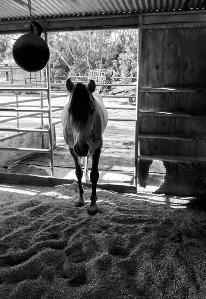 A mare returns to her stall to escape the summer heat.