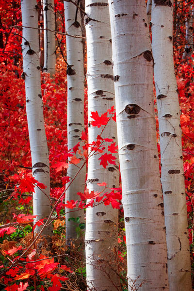 red maples in the aspens vertical