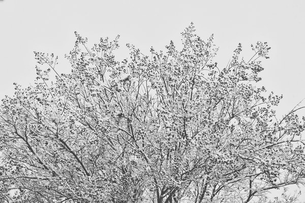 Snowy Treetop  Photography Art | Carol's Little World