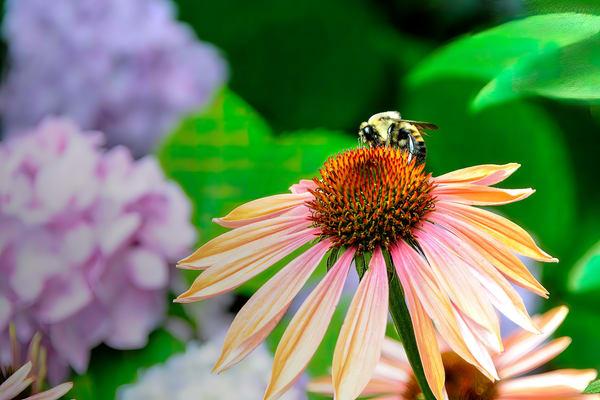 Hornet on cone flower