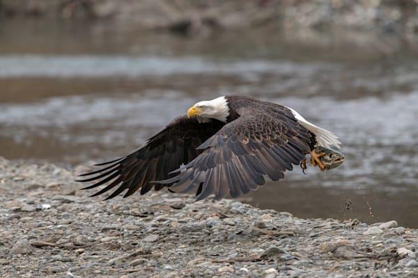 Eagle Flight With Fish Art | Alaska Wild Bear Photography