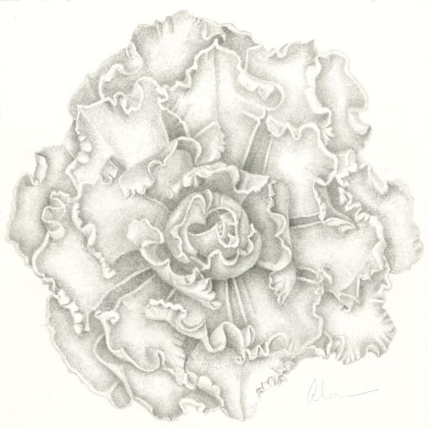 Calm Remembrances - Echeveria Blue Waves Drawing is a graphite drawing. Options include matting and framing.