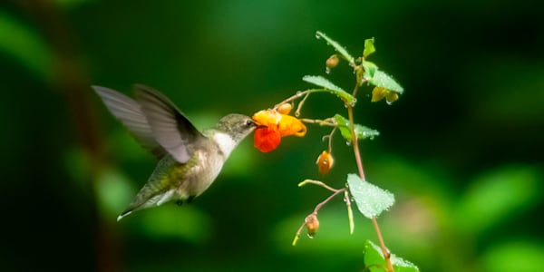A Feeding Ruby-Throated Hummingbird Print