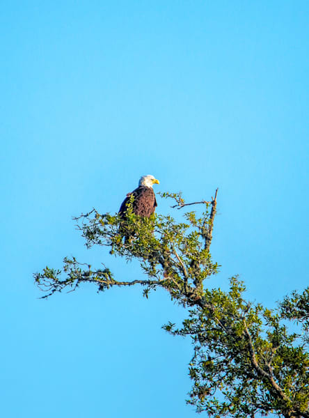 Bald Eagle in tree MS Gulf Coast
