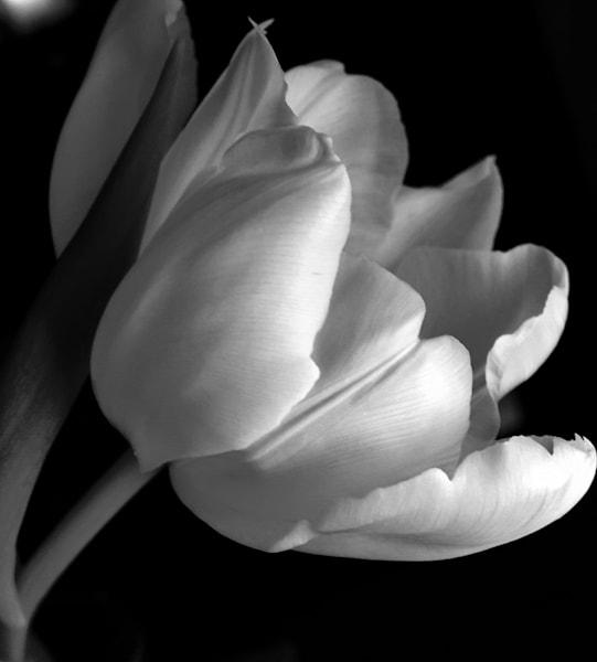 Black And White Tulip Art   Donna Starnes Creative