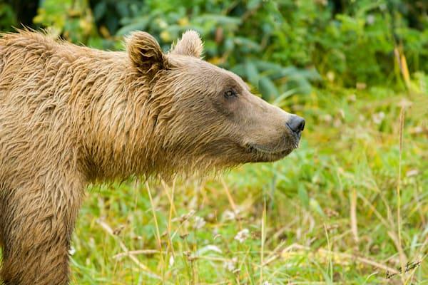 Brown Bear Head Shot Art   Alaska Wild Bear Photography
