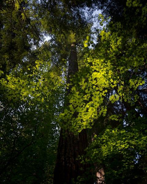 Sunlight through the Forest Canopy, Washington, 2021
