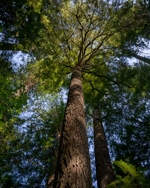 Old Growth Forest Canopy, Washington, 2021