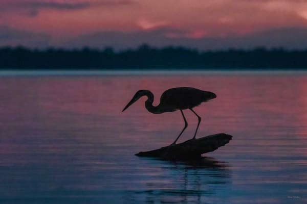 Last Catch   Great Blue Heron Fishing At Sunset Silhouette 8099 Photography Art   Koral Martin Fine Art Photography