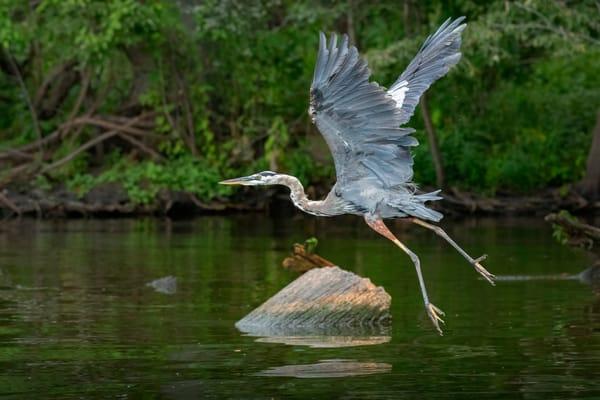Escape!  Great Blue Heron Flying   Reelfoot Lake  C0618 Photography Art   Koral Martin Fine Art Photography
