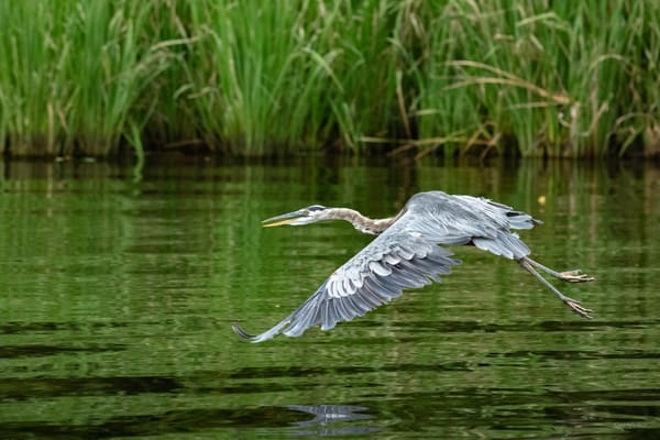 Flying Low   Great Blue Heron Flying Over Reelfoot Lake 0620f Photography Art   Koral Martin Fine Art Photography