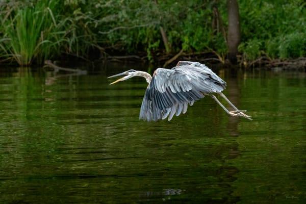 Squawking   Great Blue Heron Flying At Reelfoot Lake 0619 Photography Art   Koral Martin Fine Art Photography