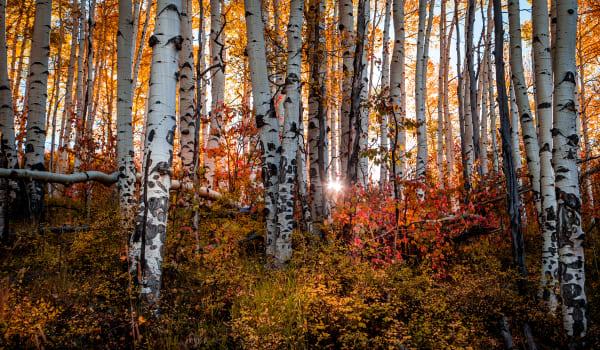 Aspen Morning (Pano Crop) Photography Art   Colorado Born Images