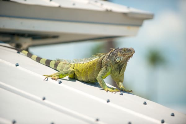 Pro Photo Va Fiesta Key Iguana 2 Photography Art   Professional Photography of VA LLC