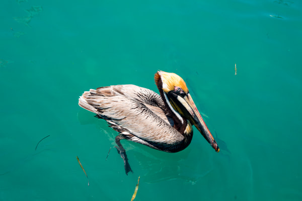 Pro Photo Va Fiesta Key Pelican 2 Photography Art   Professional Photography of VA LLC