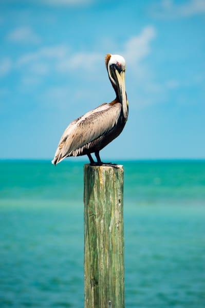 Pro Photo Va Fiesta Key Pelican 4 Photography Art   Professional Photography of VA LLC