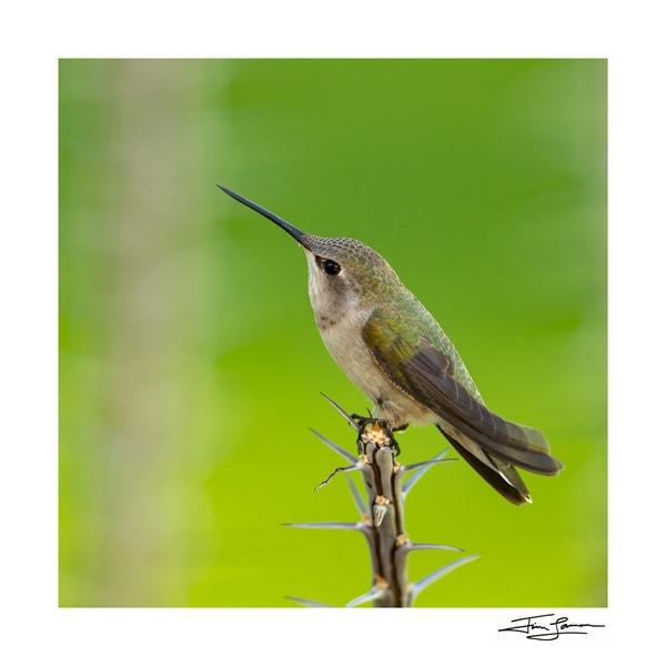 A delicate hummingbird perched on Ocotillo twig.